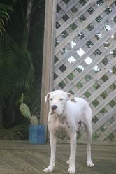 Mado, chien Dogue argentin