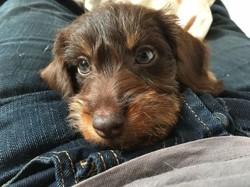 Madox, chien Teckel