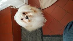 Mady, chien Coton de Tuléar