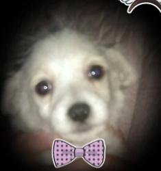 Mady, chien Bichon maltais