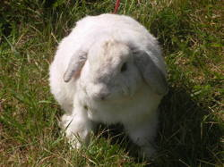 Mady, rongeur Lapin