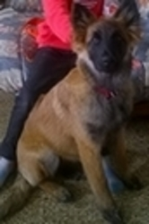 Mady, chien Berger belge