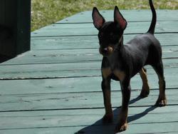 Madyk, chien Toy Terrier anglais noir et feu