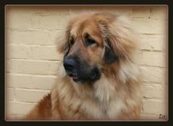 Mae, chien Dogue du Tibet