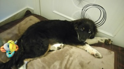 Maeko, chien Berger australien