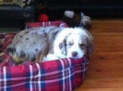 Maelle, chien Berger australien