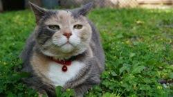 Maéra, chat Gouttière