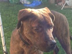 Maestro, chien Cane Corso