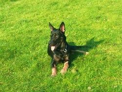 Maestro, chien Berger allemand