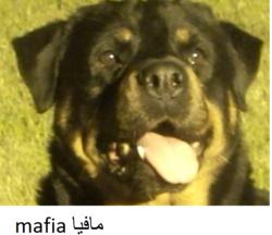 Mafia, chien Rottweiler