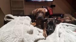 Mafia, chien Boxer