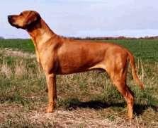 Mafilou, chien Rhodesian Ridgeback