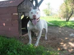 Maggi, chien Staffordshire Bull Terrier