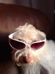 Maggie, chien West Highland White Terrier