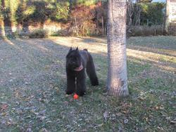 Maggie , chien Bouvier des Flandres