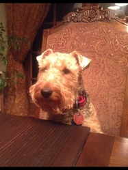 Maggie, chien Welsh Terrier