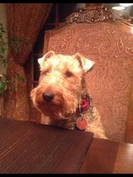 Maggie, chien Welsh Terrier
