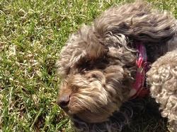 Maggie, chien Caniche