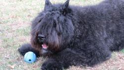 Maggie, chien Bouvier des Flandres