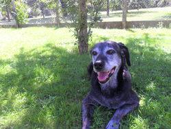 Maguie, chien Labrador Retriever