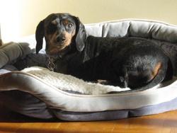 Maggie, chien Teckel
