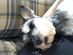 Maggie, chien Schnauzer