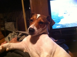 Magguy, chien Jack Russell Terrier