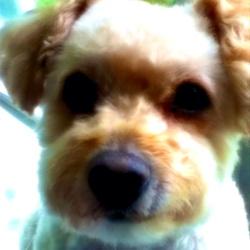 Maggy , chien Bichon à poil frisé