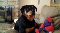 Maggy, chien Rottweiler
