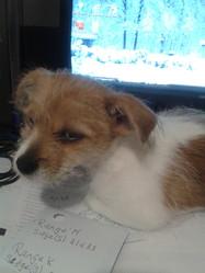 Maggy, chien Shih Tzu