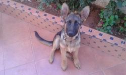 Magi, chien Berger allemand