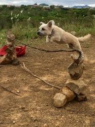 Magic, chien Griffon nivernais
