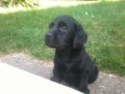 Magic, chien Labrador Retriever