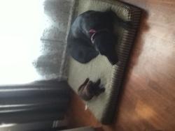 Magie, chien Labrador Retriever