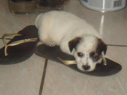 Magik, chien Bouvier d'Australie