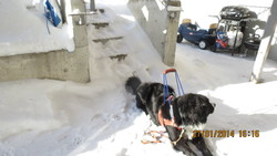 Magma, chien Bouvier bernois