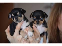 Magnifiques Chihuahuas, chien