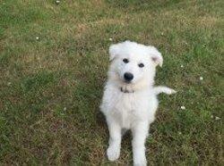 Mago De Oz, chien Berger blanc suisse