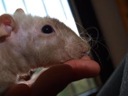 Magyar Rip, rongeur Rat