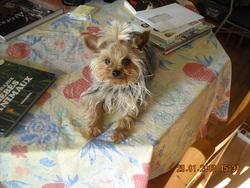 Mahira, chien Yorkshire Terrier