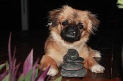 Mahlia, chien Pékinois