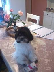 Maia, chien Shih Tzu