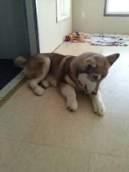 Maia, chien Malamute de l'Alaska