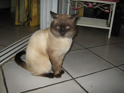 Maia, chat Thaï