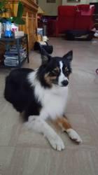 Maia, chien Berger australien