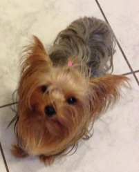 Maia, chien Yorkshire Terrier
