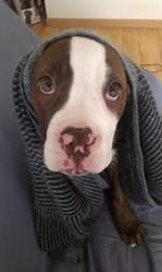 Maia, chien Bulldog