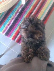 Maia, chien