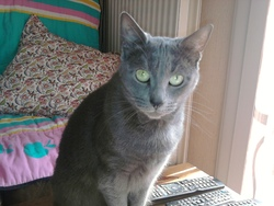 Maia, chat Bleu russe