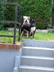 Maick, chien Bull Terrier